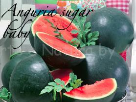 anguria sugar baby piante orticole aps vivai