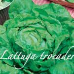 lattuga trocadero