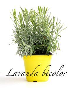 lavanda bicolor