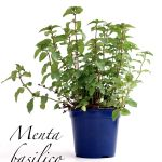 menta basilico