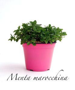 menta marocchina
