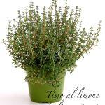 timo al limone a foglia variegata