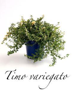 timo variegato