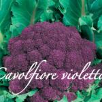 cavolfiore violetto piante orticole aps vivai