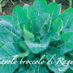 cavolo broccolo di ragusa