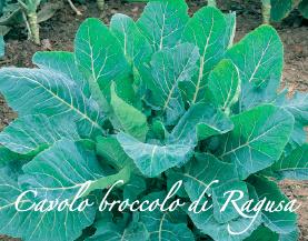 cavolo broccolo di ragusa piante orticole aps vivai