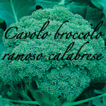 cavolo broccolo ramoso calabrese piante orticole aps vivai