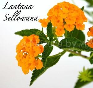 lantanasellowana piante floricole