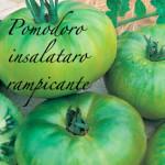 pomodoro insalataro rampicante