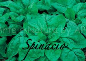 spinacio